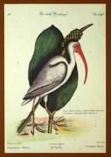 Gravure Ornithologie Oiseau LE COURLIS CORLIEU