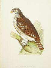 European Sparrow hibou - 1860 S antique imprimé oiseaux par Charles Bree, main de couleur
