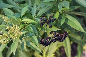 2 Elderberry cuttings Native Edible Wild flowerSambucus canadensis