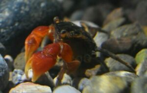 Live Red Claw Mangrove Crab *Brackish Aquarium Invertebrate* (PLS READ DESCR)