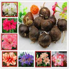 10bulbs-True Amaryllis Bulbs,Hippeastrum Bulbs Flowers Barbados Lily (Not Seeds)