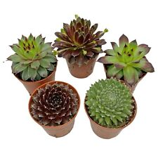 5 Sempervivum Plants Outdoor Potted Succulents Evergreen Perennials House Leeks