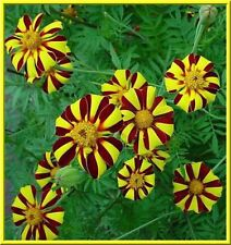 Harlequin Marigold 20 Seeds Beautiful Colors! Comb.S/H See Our Store