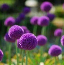 50 pcs Giant Allium Globemaster Allium Giganteum Flower Seeds Garden Plant