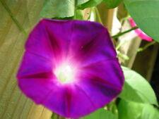 100 Grandpa Ott Morning Glory Ipomoea Purpurea Flower Vine Seeds +Gift & Comb Sh