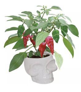 Large White Ceramic Skull Planter Grow Your Own Chilli Plant Kit 🌶 Great Gift