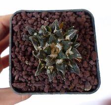 10 Ariocarpus scapharostrus x kotschoubeyanus 65k SEMI SEEDS KORN SAMEN rare