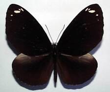 EUPLOEA MIDAMUS SSP from KARIMATA - unmounted butterfly