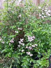 "25 + Weigela Unrooted 8""-10"" Cuttings Bush/shrub Hedge Pink Flowering"