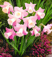 Dwarf Narcissus Daffodil  Bulbs Triandrus /'Thalia/' WPC Prins Pack 10