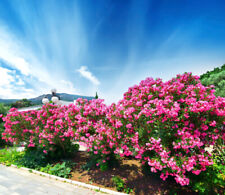 Pink Oleander   Nerium oleander   Organic   20 Seeds    (Free US Shipping)
