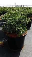 Strauchpflanzen für volles Sonnenlicht und subtropisches Klima