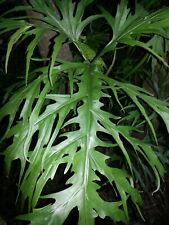 Philodendron warszewiczii - Aroid