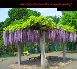 Wisteria Floribunda ´ Royal Purple´´ - 3 cuttings for easy rooting and growing !
