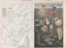 MEERESFAUNA Tintenfisch Quallen Manteltier LITHOGRAPHIE von 1905 Tintenschnecke