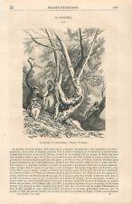 Le Caroubier Ceratonia siliqua Dessin de Laures GRAVURE ANTIQUE OLD PRINT 1868