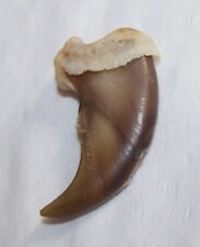 Real Black Bear Claw - Clean, Hair Removed - Genuine!