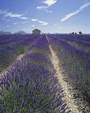 "Lavendel Samen ""common English"""
