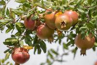 * Der exotische Granatapfelbaum wächst auch in Ihrem Wintergarten wundervoll.