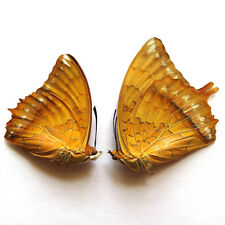 RARE PAIR unmounted butterfly Nymphalidae Charxes marmax  #418