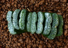 HUGE Haworthia truncata cv XVEGAHN HE078 (ex China import) 8cm ! no variegata 16