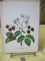 Vintage Print,FRAGARIA VIRGINIANA,Floral Keepsake,1854
