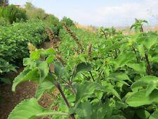 Vana Tulsi Basilikum - Ocimum gratissimum - 20+ Samen - Saatgut - Seeds