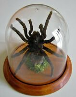 Acanthoscurria juruenicola Tarantula in a Dome