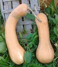 Pumpkin LONGUE De NICE-Pumpkin Seeds-TASTY FRENCH HEIRLOOM-20 SEEDS.