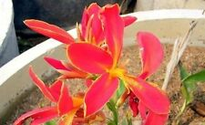 RARE - Canna Lily – Red Fire (canna indica) 5 Reliable Viable Seeds