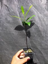 "2 seedling Florida Black Sapote 16"" Each Chocolate Pudding Tropical Plant"