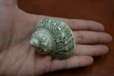 "GREEN PETHOLATUS JADE TURBO SEA SHELL HERMIT CRAB 1 1/2"" - 2"" #7381"