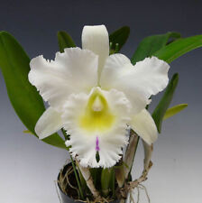New listing Bc. Pastoral 'Innocence' cattleya orchid, blooming size, makes lovely flowers