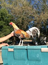 6 (2+ Free) Cuban Game Fowl Hatching Eggs