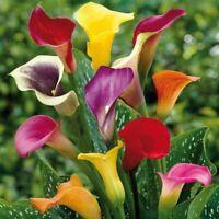 100Pc Calla Lily Flowers Seeds 9 Kind Colorful Bonsai Elegant Home Garden Plants