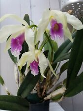 New listing Huge Laelia Purpurata in bloom and spike and another spike yet to come!