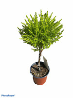 "Goldcrest Topiary - Lemon Cypress - 4"" Pot"