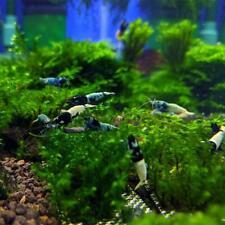 TaiTiBee Shrimp - Live Aquarium Shrimp