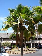 Dwarf Fiji FAN Palm Pritchardia thurstonii Rare LAU FAN Palm 100 Fresh Live Seed