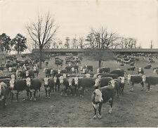 BOVINS c. 1950 - Cheptel de Bovins Hereford - GF 102