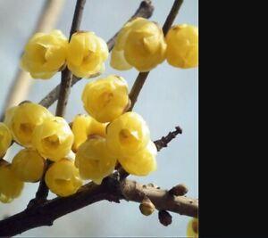 Winter Sweet Prunus Mume Tree Yellow Plum Flower Lame I Plants Garden 60 Seeds