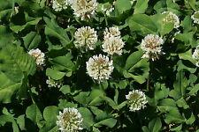 White Dutch Clover Seeds - Low Growing Perennial Clover - Organic - 2000+ Seeds