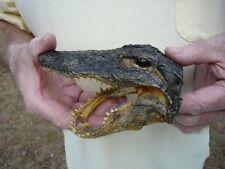 """(G-Def-33) 6-1/8"""" Deformed Gator Alligator Aligator Head teeth Taxidermy weird"""