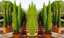 2x Pair Tree Mediterranean Italian Cypress Tall Plant Pot Garden Decor Evergreen