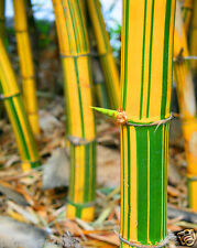 Rare Imported Yellow Bamboo ,Yellow wood with green stripes Bamboo - 20 seeds
