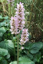100 BRIDAL WREATH White & Pink Francoa Appendiculata Flower Seeds for Part Shade