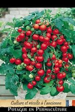 Tomate cerise naine « Red Robin » 20 graines méthode Bio (seed permaculture)