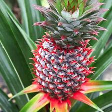 PINEAPPLE PLANT 'Florida Special' Ananas comosus Live Plant Fruiting