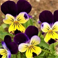 Beautiful Johnny Jump Up Seeds 100 Seeds  -BUY 4 ITEMS FREE SHIPPING