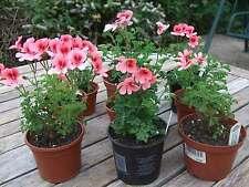 Angel Pelargonium - Angel Eyes Orange Geranium Plant